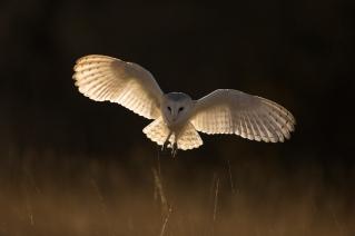 Barn Owl Hunting at Dusk