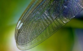 dragonfly-wing
