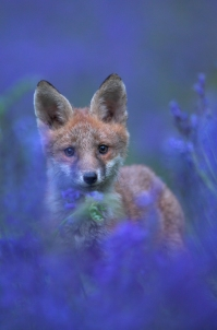 Red Fox Cub amongst Bluebells 1
