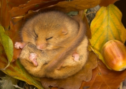 Dormouse Hibernating