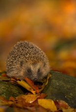 Hedgehog in late evening light 3