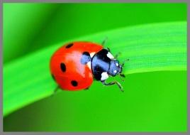 ladybirdcc