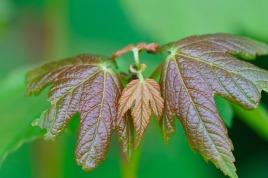 Symmetrical leaf