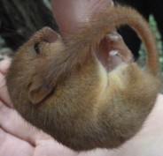 hanging dormouse